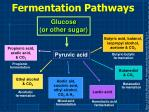 fermentation pathways
