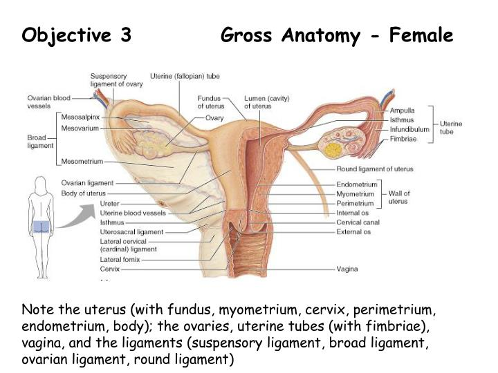 PPT - BIOL 204 – Lab 13 The Reproductive System - Anatomy PowerPoint ...