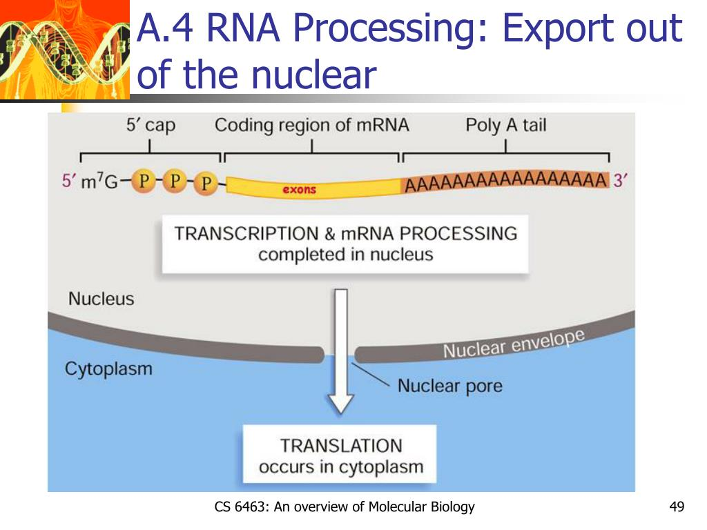 A.4 RNA Processing: Export out of the nuclear