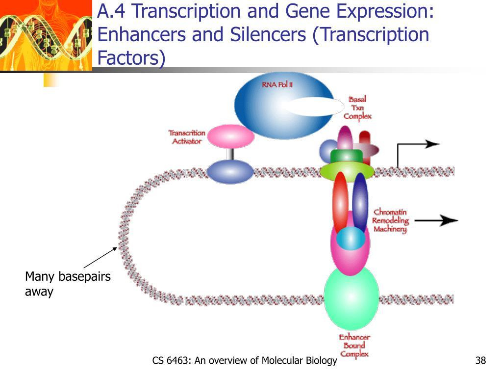 A.4 Transcription and Gene Expression: Enhancers and Silencers (Transcription Factors)