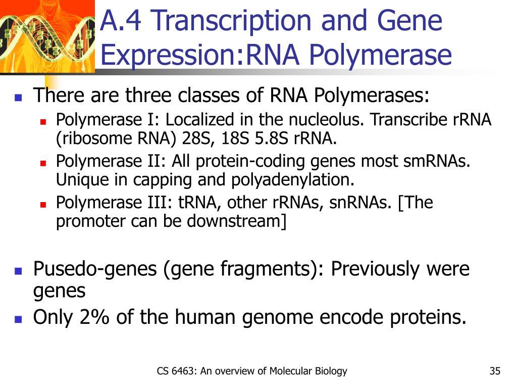 A.4 Transcription and Gene Expression:RNA Polymerase