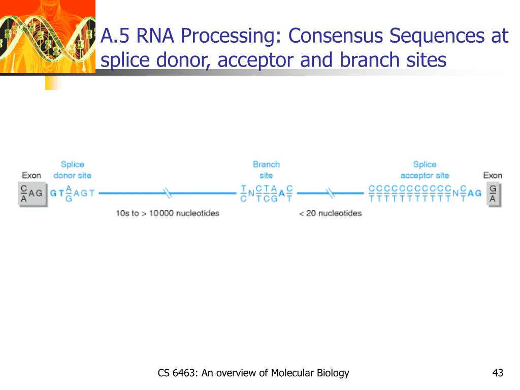 A.5 RNA Processing: Consensus Sequences at splice donor, acceptor and branch sites