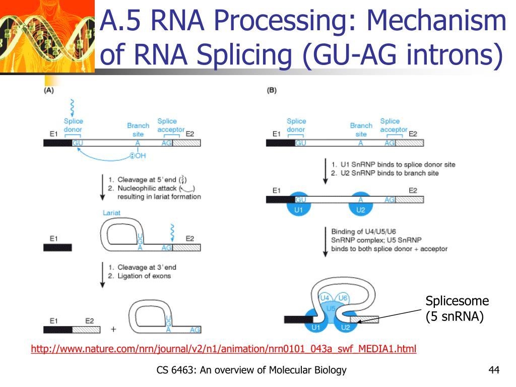 A.5 RNA Processing: Mechanism of RNA Splicing (GU-AG introns)
