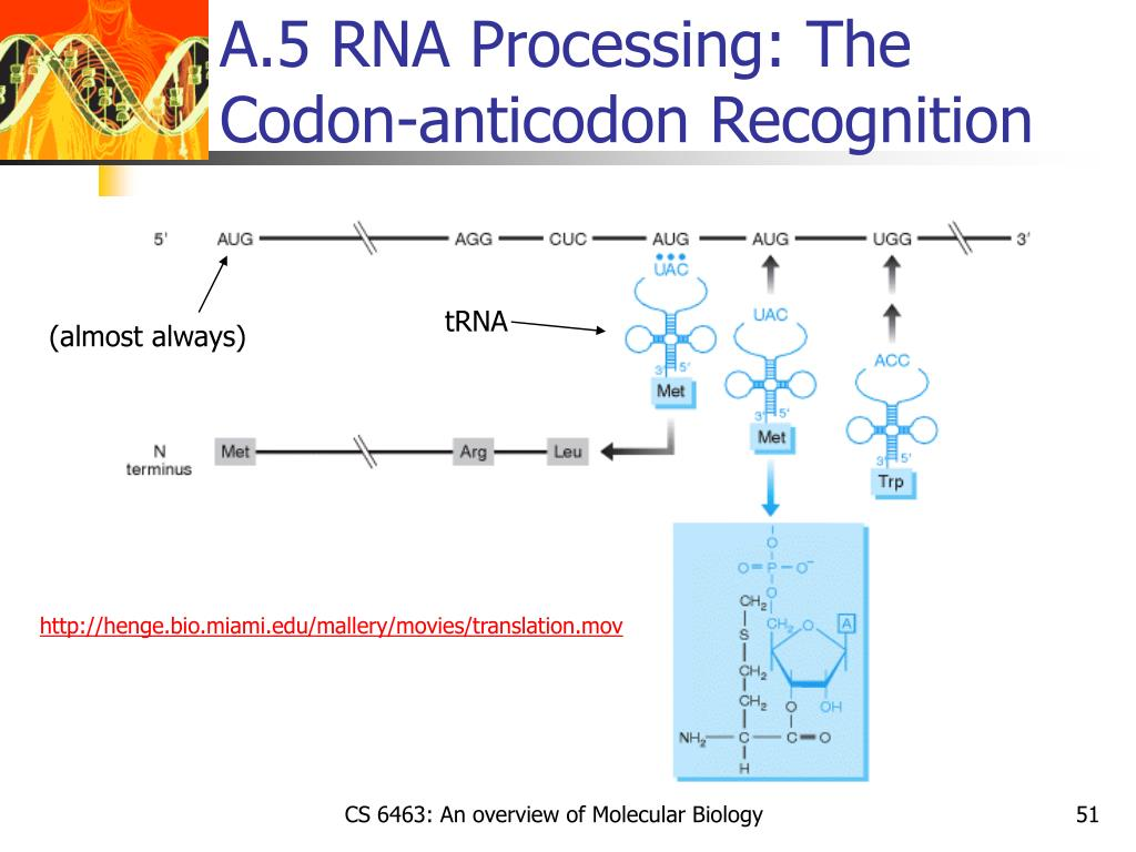 A.5 RNA Processing: The Codon-anticodon Recognition