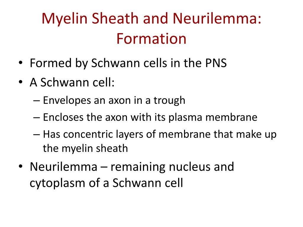 Myelin Sheath and Neurilemma: Formation