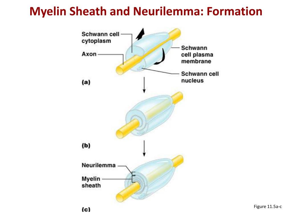 Myelin Sheath and