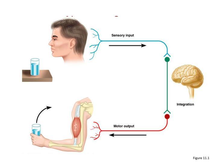 Nervous system3