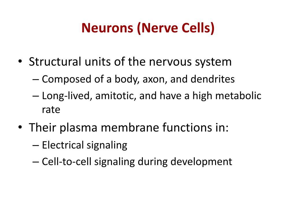 Neurons (Nerve Cells)