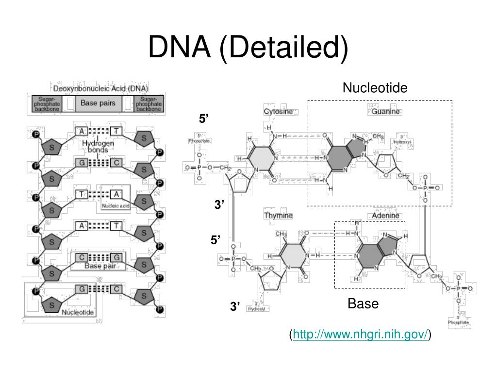 DNA (Detailed)