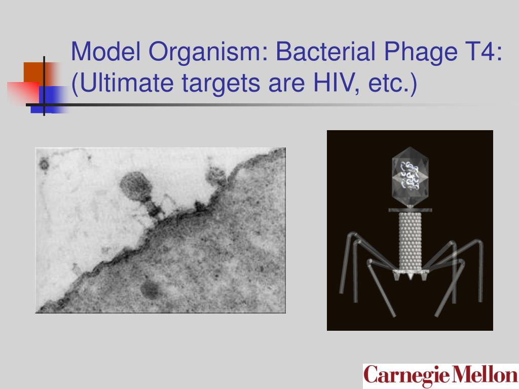 Model Organism: Bacterial Phage T4:  (Ultimate targets are HIV, etc.)