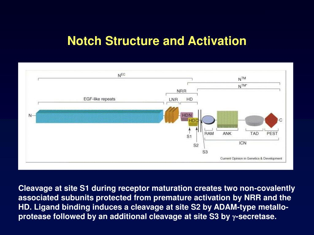 Notch Structure and Activation