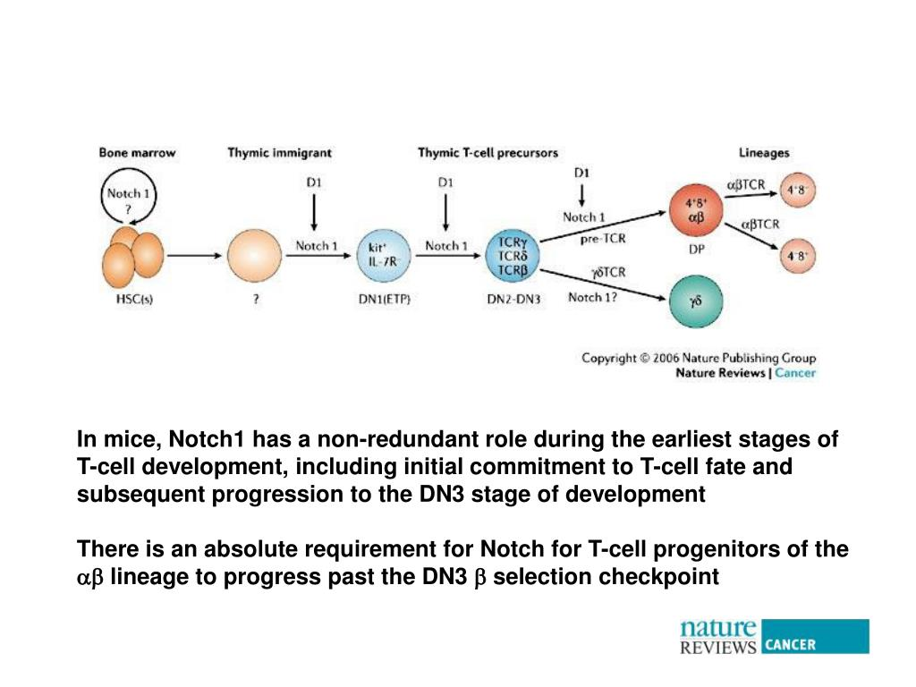 In mice, Notch1 has a non-redundant role during the earliest stages of