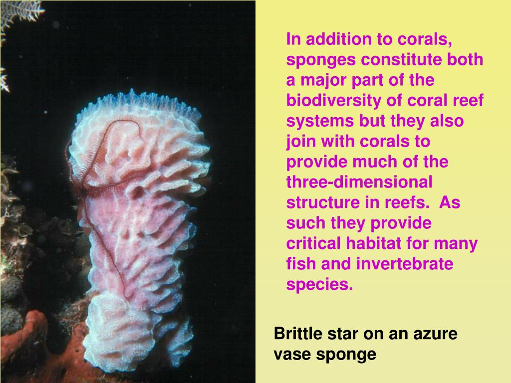 In addition to corals, sponges constitute both a major part of the biodiversity of coral reef systems but they also join with corals to provide much of the three-dimensional structure in reefs.  As such they provide critical habitat for many fish and invertebrate species.