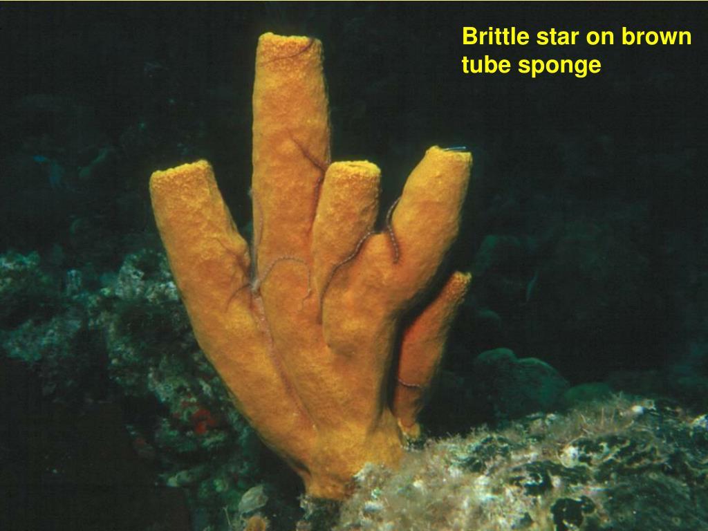 Brittle star on brown tube sponge