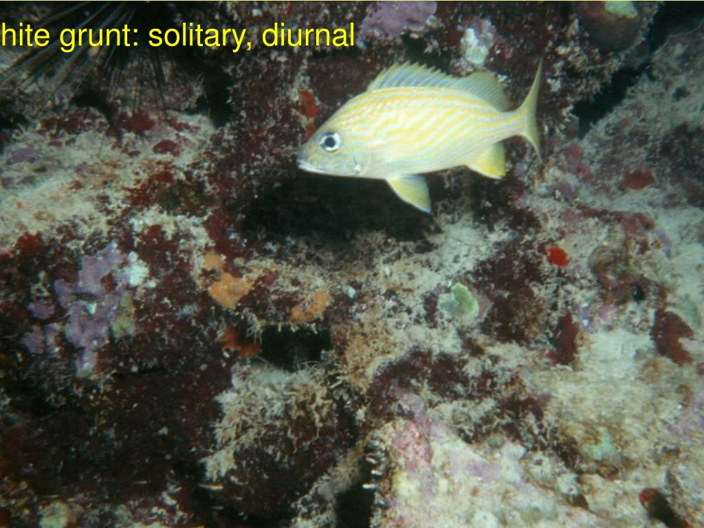 white grunt: solitary, diurnal