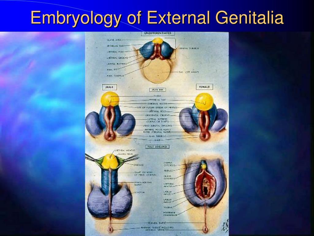 Embryology of External Genitalia