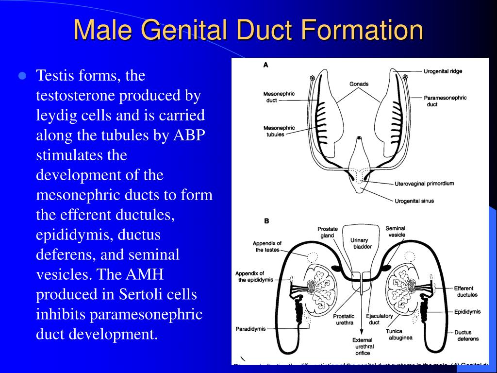 Testis forms, the testosterone produced by leydig cells and is carried along the tubules by ABP stimulates the development of the mesonephric ducts to form the efferent ductules, epididymis, ductus deferens, and seminal vesicles. The AMH produced in Sertoli cells inhibits paramesonephric duct development.