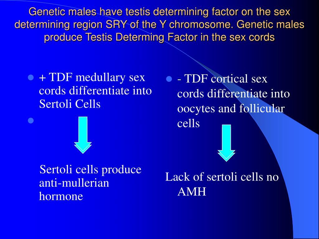 + TDF medullary sex cords differentiate into Sertoli Cells