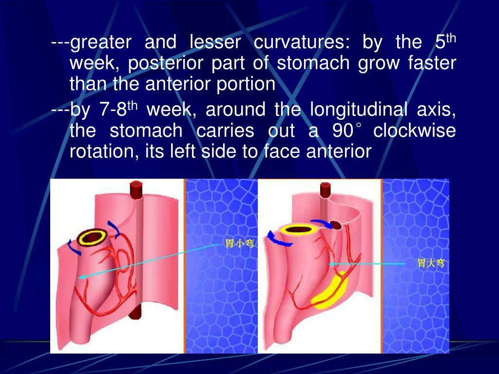 ---greater and lesser curvatures: by the 5