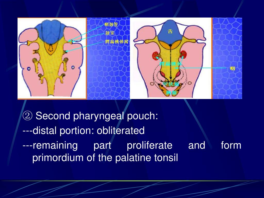 ② Second pharyngeal pouch: