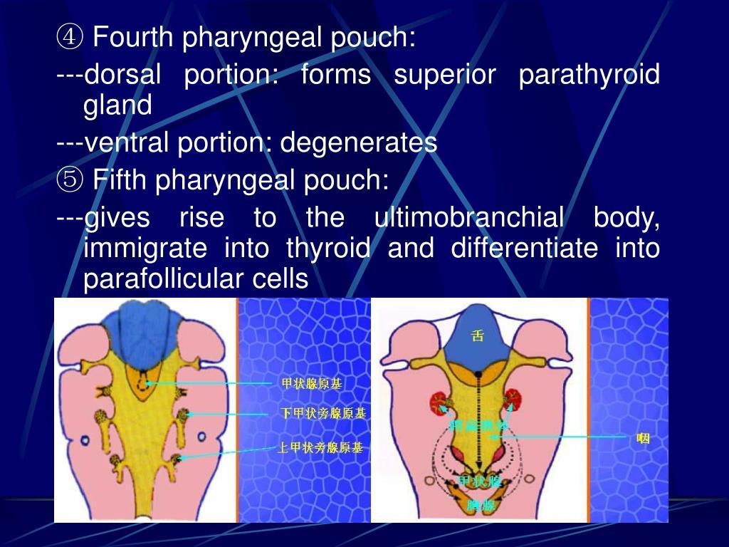 ④ Fourth pharyngeal pouch: