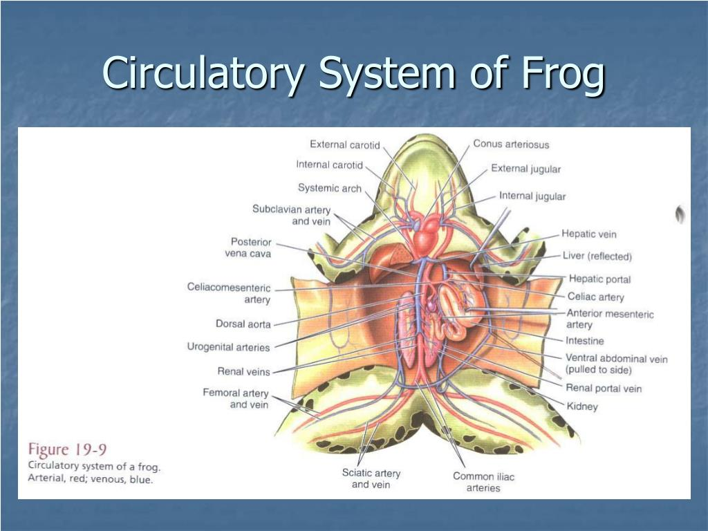Circulatory System of Frog