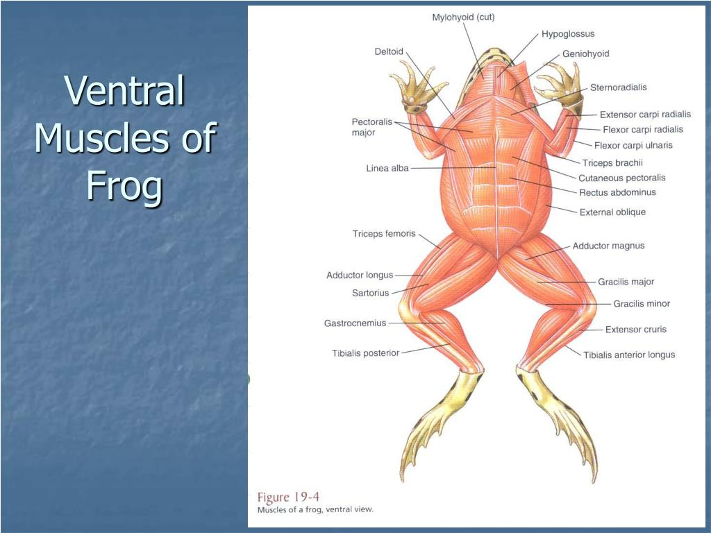 Ventral Muscles of Frog