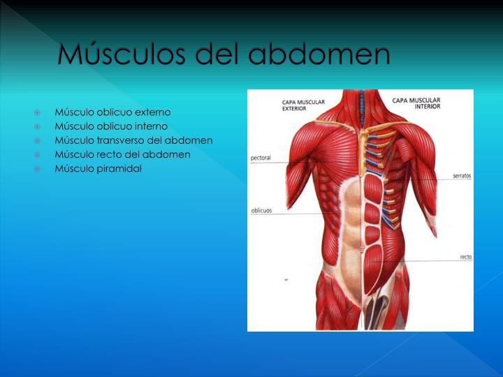 Magnífico Oblicuo Externo Colección - Anatomía de Las Imágenesdel ...