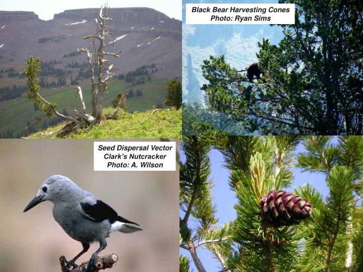 Black Bear Harvesting Cones