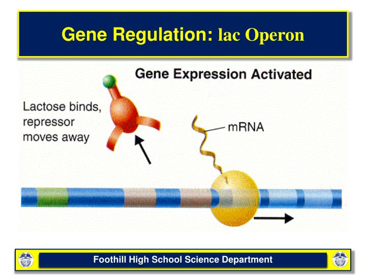 a study on gene regulation using the lac operon Lac operon includes the lac gene, promoter, gene for the lac repressor and operator study of gene regulation using lactose and beta-galactosidase.