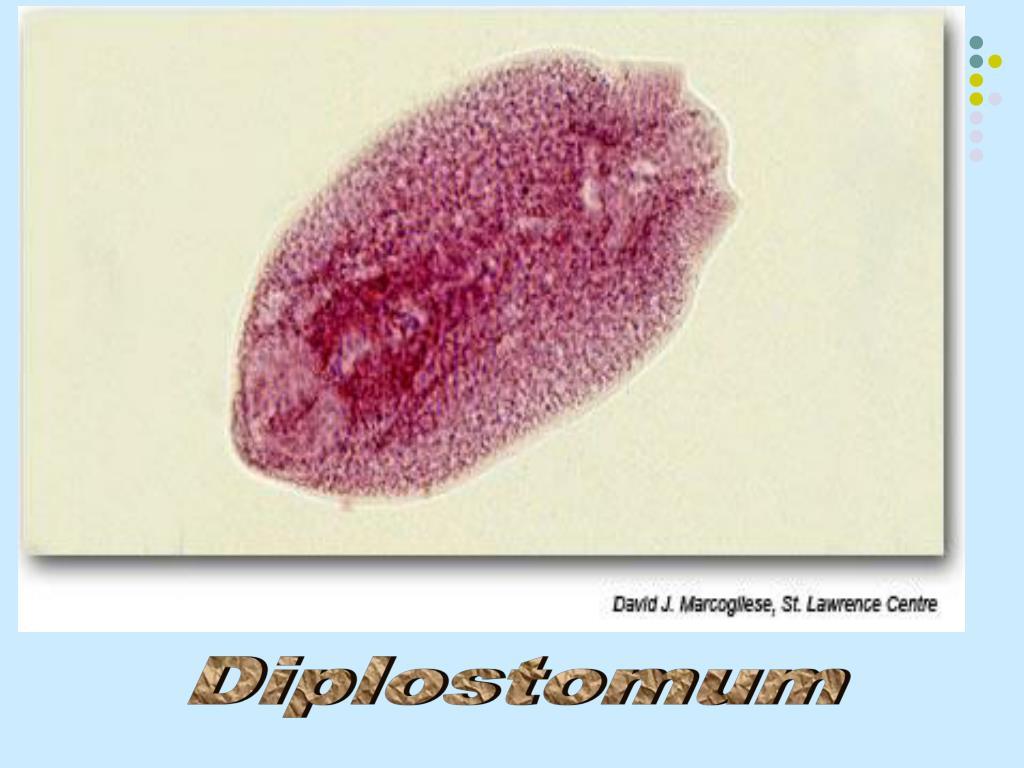Diplostomum