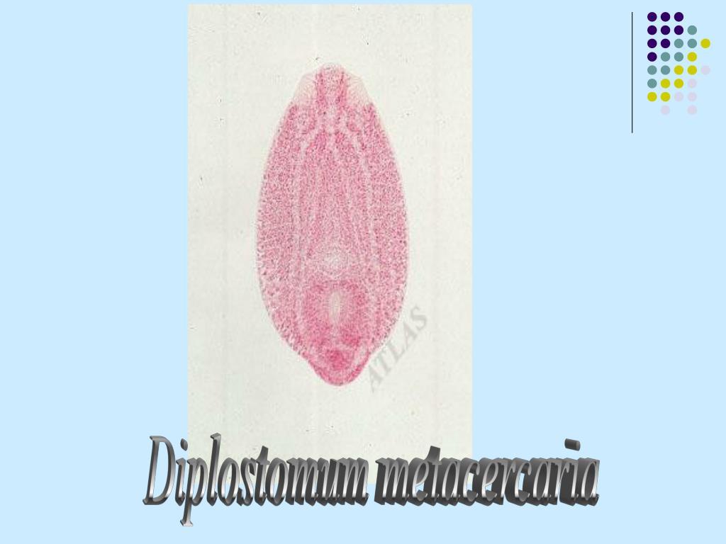 Diplostomum metacercaria