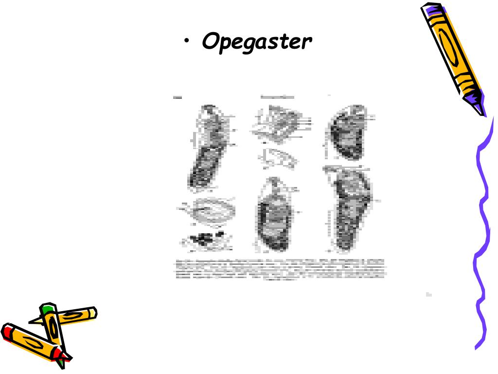 Opegaster