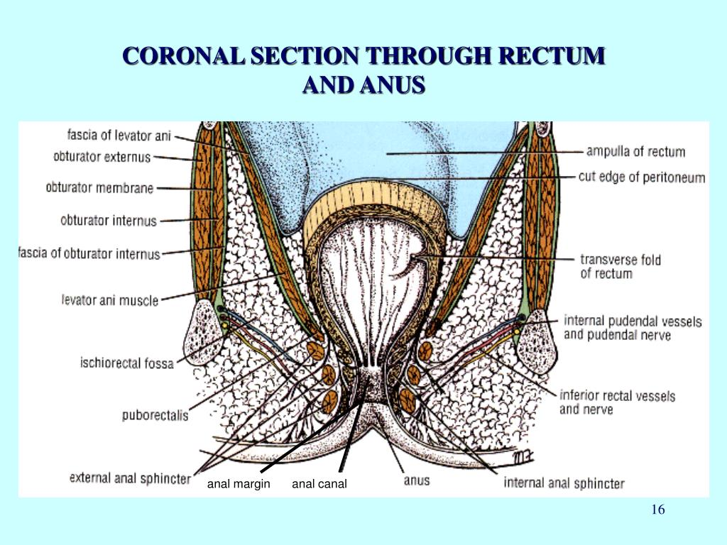 CORONAL SECTION THROUGH RECTUM AND ANUS
