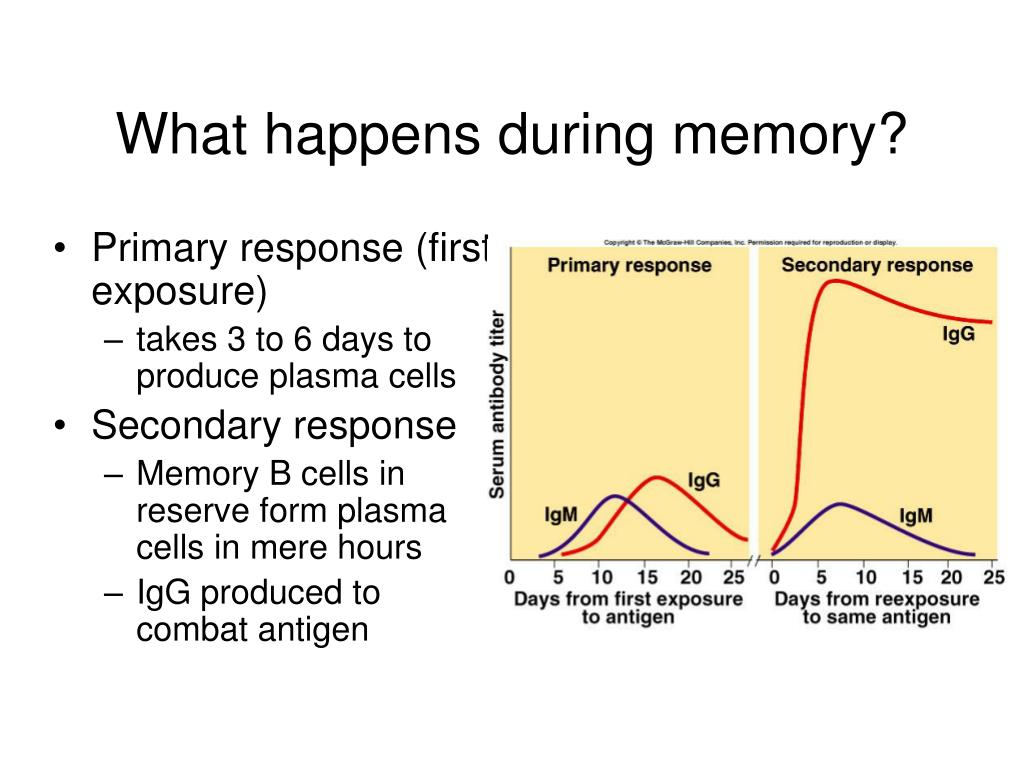 What happens during memory?