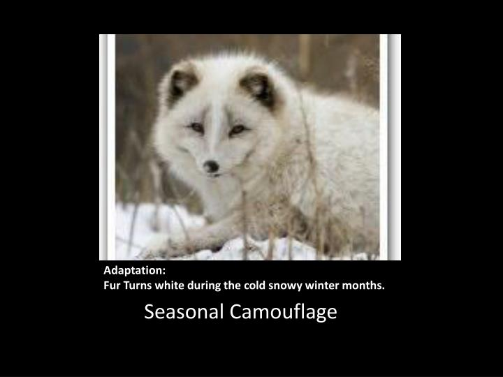 adaptation fur turns white during the cold snowy winter months n.