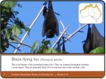 black flying fox pteropus alecto