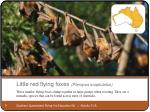 little red flying foxes pteropus scaptulatus
