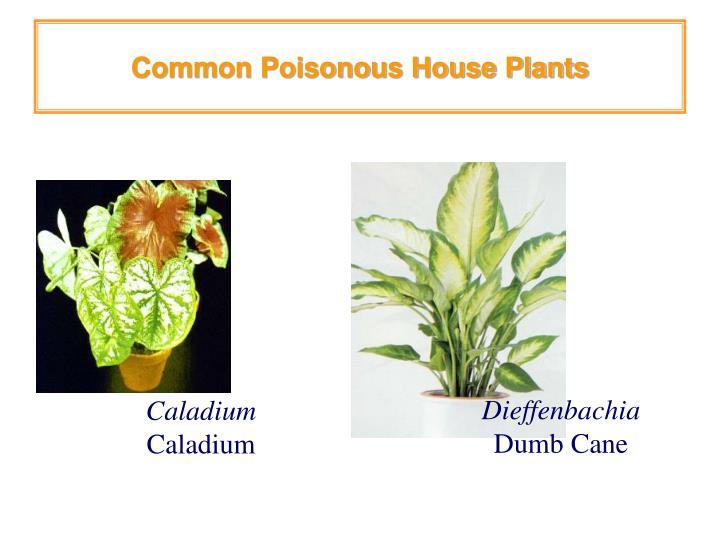 Common poisonous house plants3