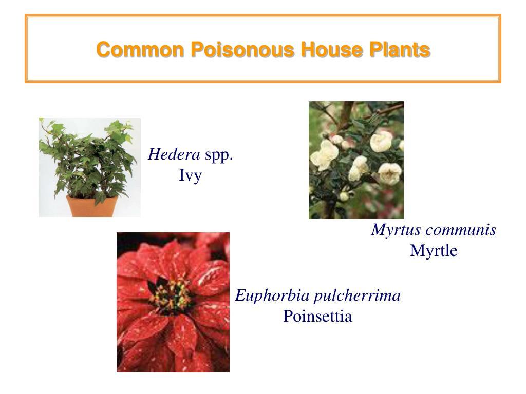 Common Poisonous House Plants