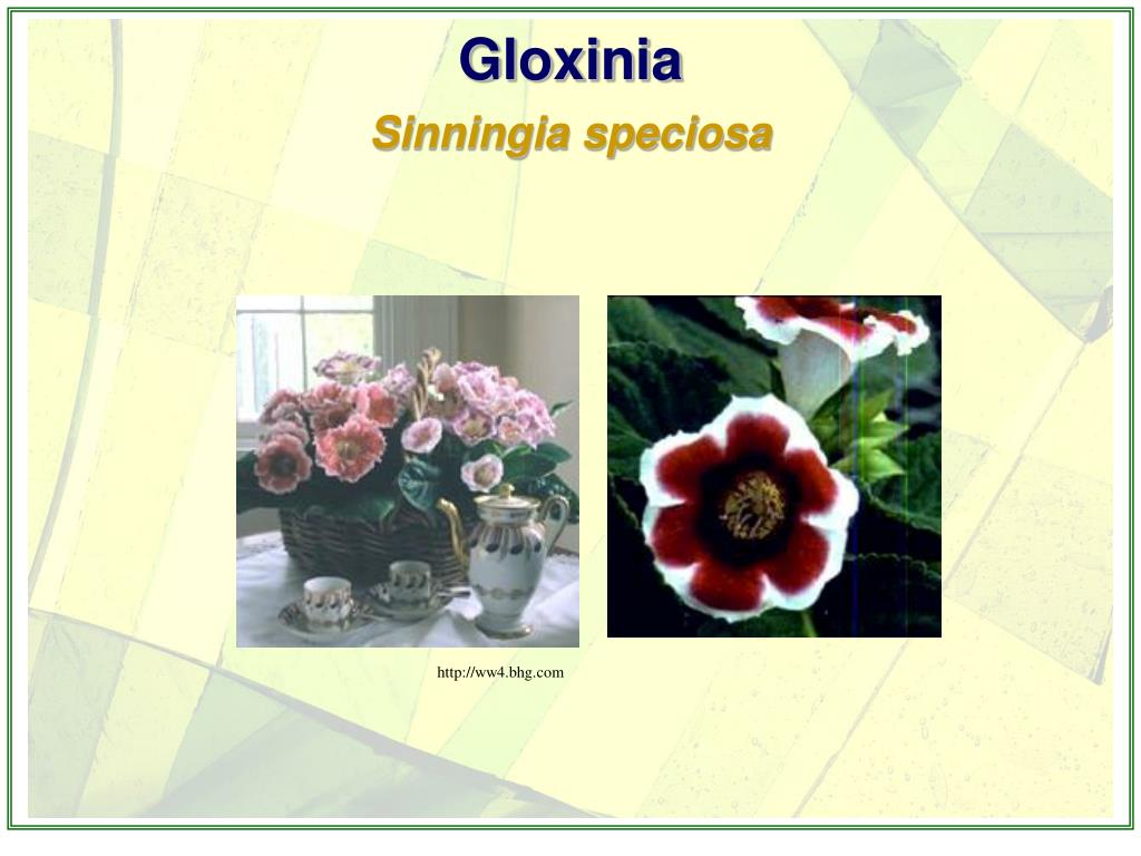 Gloxinia