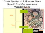 cross section of a monocot stem stem x s of zea mays corn vascular bundle