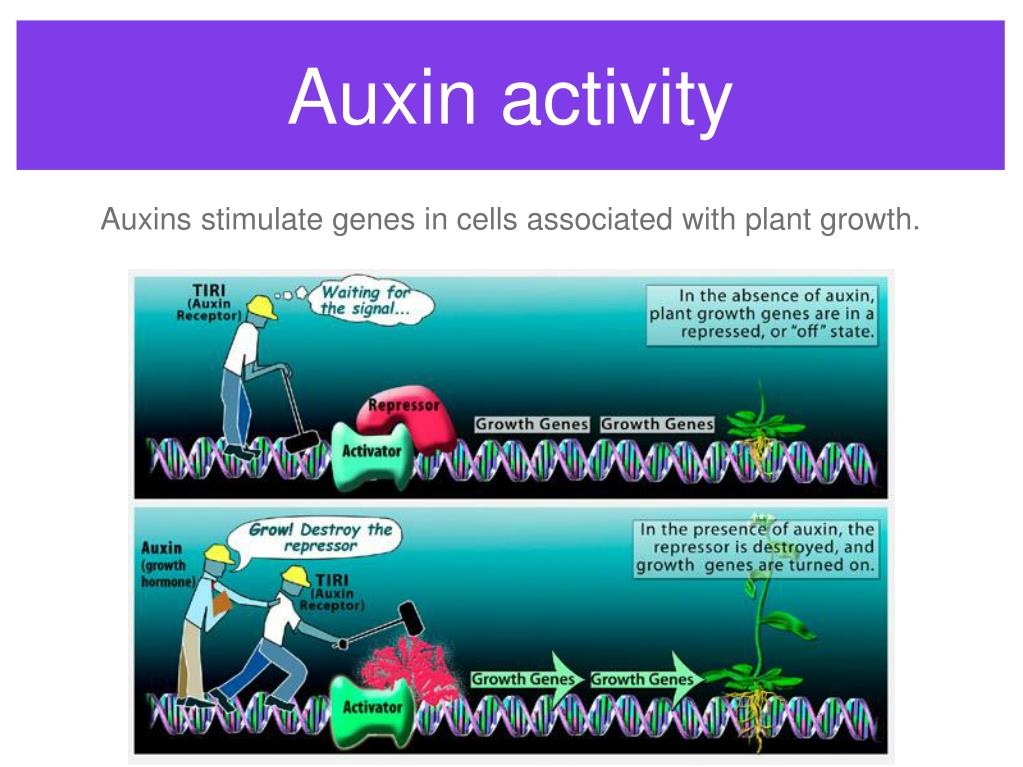 Auxin activity