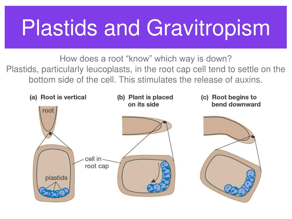 Plastids and Gravitropism