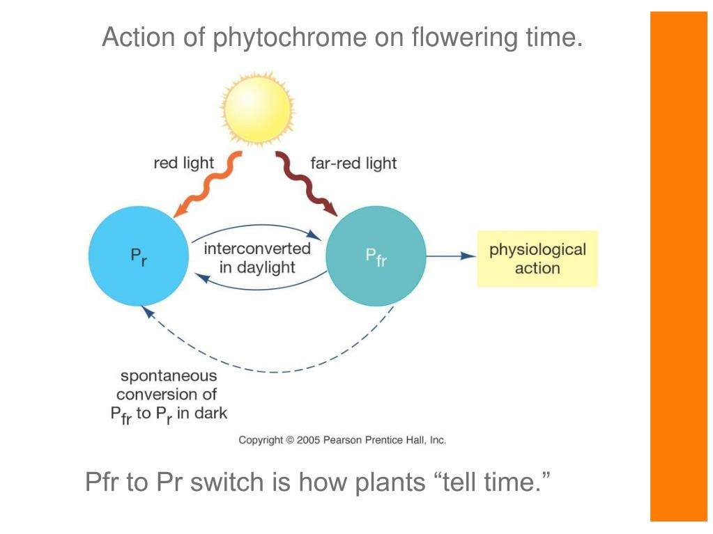 Action of phytochrome on flowering time.