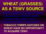 wheat grasses as a tswv source10