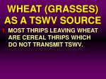 wheat grasses as a tswv source5