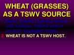 wheat grasses as a tswv source6