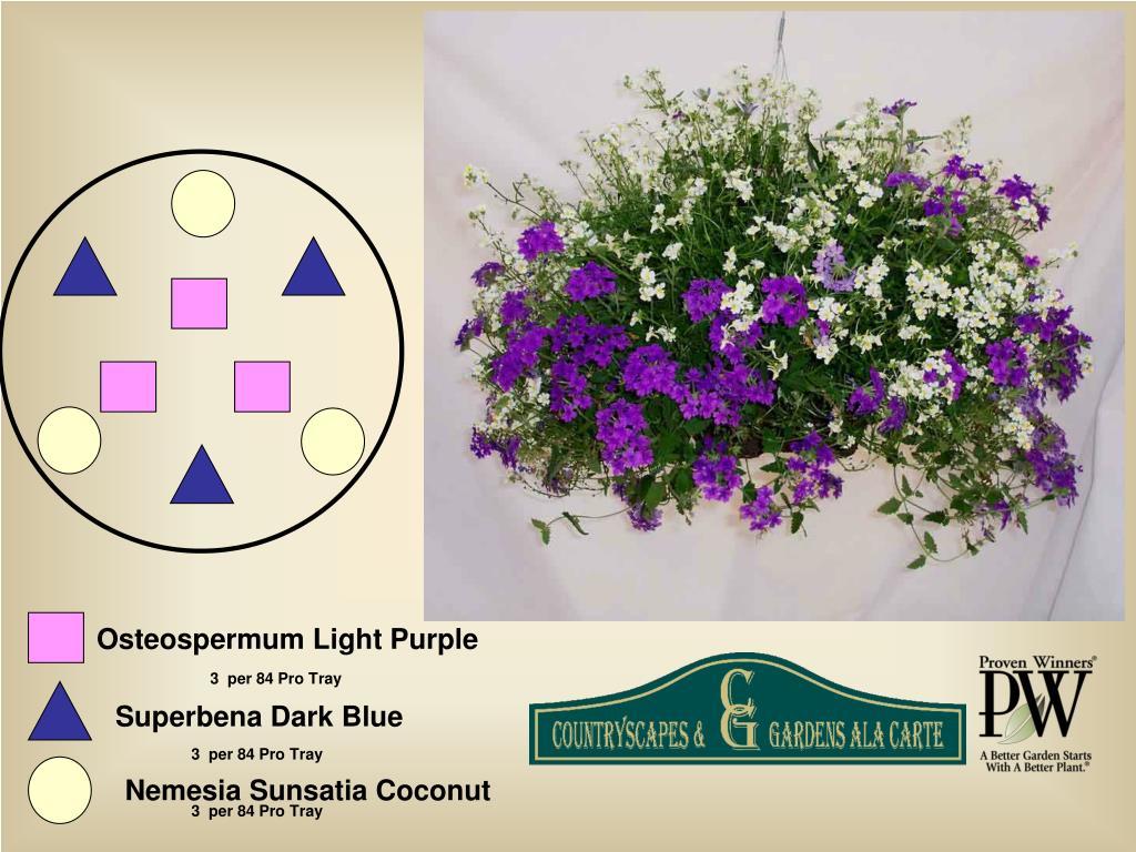 Osteospermum Light Purple