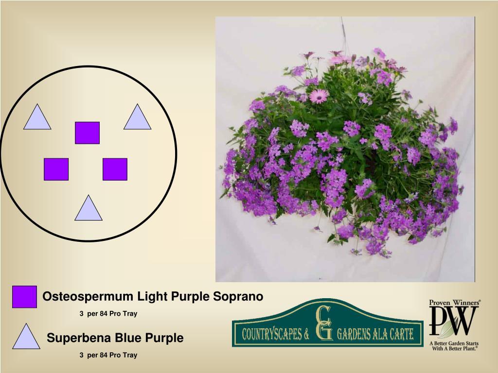 Osteospermum Light Purple Soprano